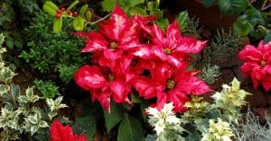 Christmas Plants and Flowers