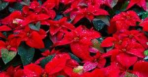 Poinsettia Plants - How to Look After Poinsettia