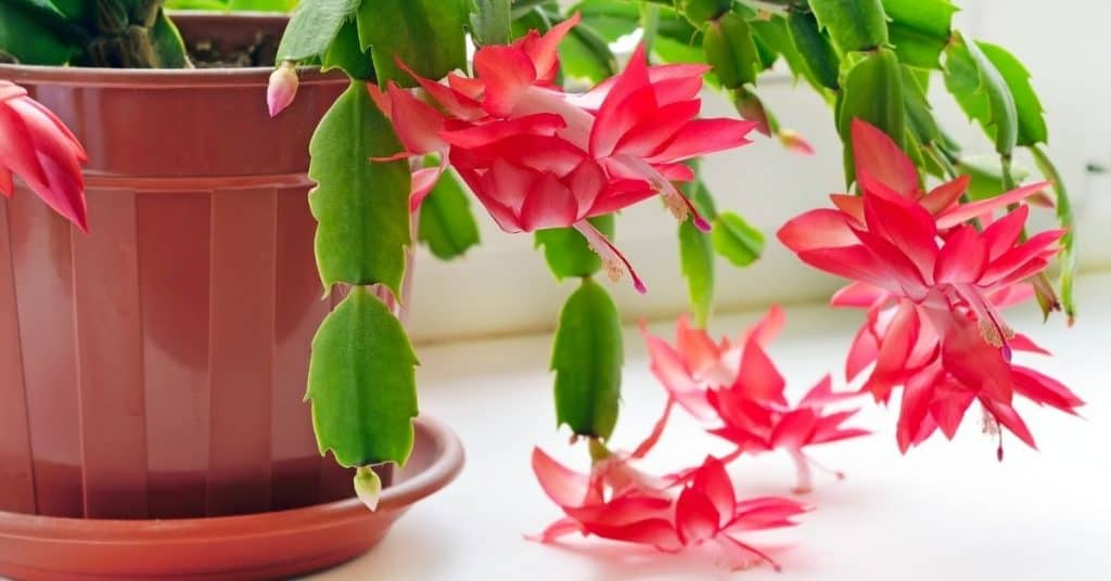 Types of Christmas Cactus and All The Christmas Cactus Colors - Open for Christmas